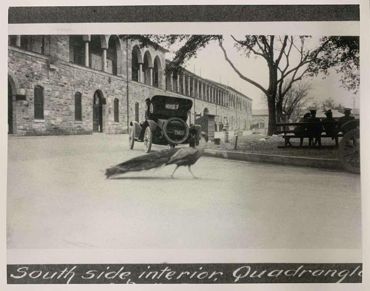 A photo circa 1920 of a peafowl at the Joint Base San Antonio-Fort Sam Houston Quadrangle.