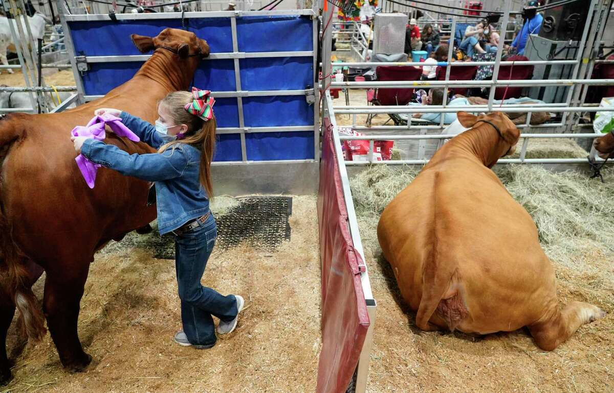 Maddax McCollum, 9, with Montague County 4-H, dries a Beefmaster heifer during the junior show of the Houston Livestock Show and Rodeo in NRG Center Tuesday, March 9, 2021 in Houston. The Junior Livestock Show and Horse Show competitions are being held as private events after the cancellation of all other activities, including the carnival, RodeoHouston competitions and concerts due to COVID-19 pandemic.