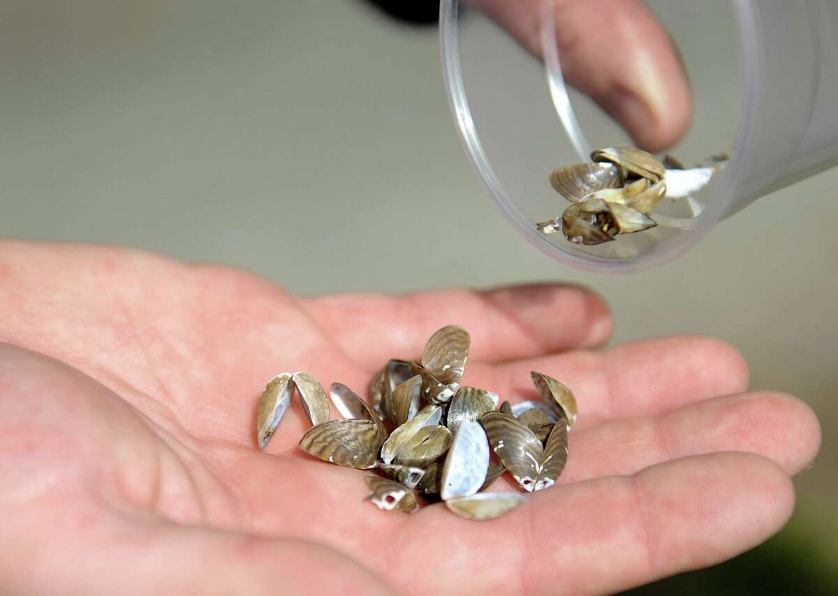 Zebra mussels are small and very sharp.