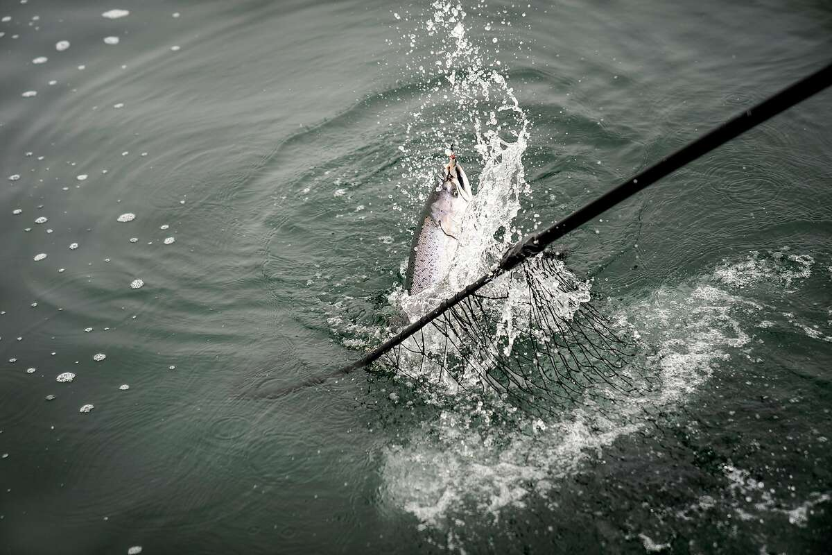 Chinook salmon caught on the Wacky Jacky sport fishing boat in 2018, off the coast of San Francisco.