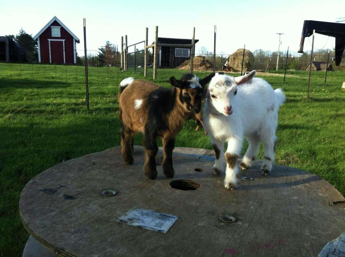 The Lazy Lane Family Farm in Stanwood breeds and sells Nigerian dwarf goats like those pictured. To reserve a goat visit lazylanefamilyfarms.com. (Photo courtesy of Lazy Lane Family Farms)