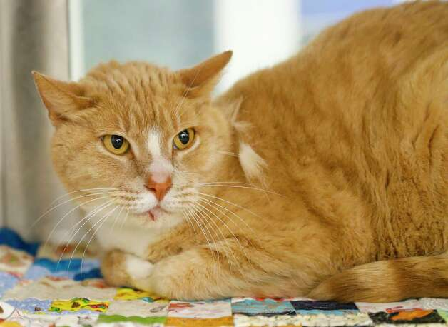 Oliver (A569422) is a 9-year-old, male, orange tabby Domestic Shorthair cat available for adoption from Harris County Pets. Oliver and his companion, Frank (A569420) are two mild-mannered seniors, who were surrendered by the same owner because the owner was allergic to cats. They are litter box trained, and love women, men and other cats. Photo: Karen Warren, Staff Photographer / @2021 Houston Chronicle