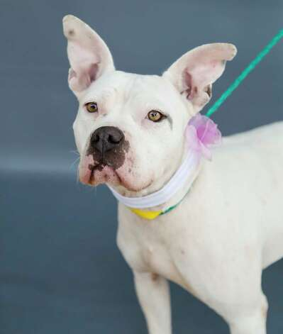 Buttercup (A569093) is a 3-year-old, female, American Pit Bull mix available for adoption from Harris County Pets. Buttercup was impounded by Harris County animal control as a stray on March 4 following a call by a concerned citizen who reported that Buttercup was chasing children as they got off a school bus. Nevertheless, Buttercup is a sweet and human-friendly gal who simply appreciates a little attention in a forever home of adults. Photo: Karen Warren, Staff Photographer / @2021 Houston Chronicle