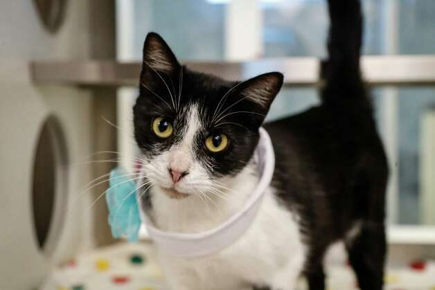 Trixie (A569271) is a 2-year-old, female, black/white Domestic Shorthair cat available for adoption from Harris County Pets. Trixie was brought in as a stray, but is very sweet and enjoys pets and attention. Photo: Karen Warren, Staff Photographer / @2021 Houston Chronicle