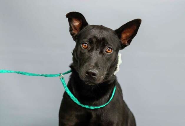 Xena (A568997) is a 1-year-old, female, black Labrador Retriever mix available for adoption from Harris County Pets. Xena is a sweet little girl, who is very nervous about being in the shelter. She was brought in as a stray. Photo: Karen Warren, Staff Photographer / @2021 Houston Chronicle