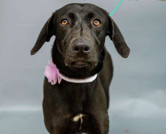 """Mollie (A569247) is a 2-year-old, female, black Labrador Retriever mix available for adoption from Harris County Pets. Mollie was picked up by an animal control officer after a caller from a realty company reported that the owners of a new home the company sold discovered Mollie in a kennel on their driveway. An owner was not found, and animal control tracked no microchip on Mollie. She appears to be a family-friendly dog whom staff reports she interacts well with young children, including babies. """"She listened very well and softly sniffed the baby,"""" stated one staff member who observed Mollie's interaction with a family. Photo: Karen Warren, Staff Photographer / @2021 Houston Chronicle"""