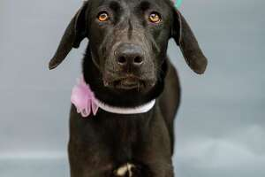 """Mollie (A569247) is a 2-year-old, female, black Labrador Retriever mix available for adoption from Harris County Pets. Photographed on Wednesday, March 10, 2021, in Houston. Mollie  was picked up by an animal control officer after a caller from a realty company reported that the owners of a new home the company sold discovered Mollie in a kennel on their driveway. An owner was not found, and animal control tracked no microchip on Mollie. She appears to be a family-friendly dog whom staff reports she interacts well with young children, including babies.  """"She listened very well and softly sniffed the baby,"""" stated one staff member who observed Mollie's interaction with a family."""