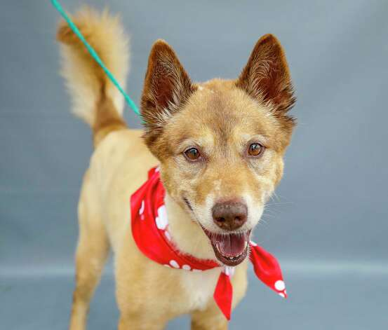 Tyson (A568515) is a 9-year-old, male, Labrador Retriever mix available for adoption from Harris County Pets. Tyson was surrendered by his owner, but this senior boy is as sweet as candy. He likes treats, and is well-mannered. He is heartworm negative and his adoption fees have been waived. Photo: Karen Warren, Staff Photographer / @2021 Houston Chronicle