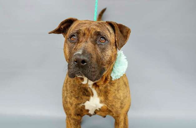Bubbles (A568756) is a 4-year-old, female, brindled American Staffordshire mix available for adoption from Harris County Pets. Bubbles is one of three dogs that were brought to Harris County Pets on February 23 after their owner had passed away, and family members opted not to have custody of them. Bubbles is a friendly and loveable lady who can get along with other dogs with minimal supervision. Bubbles also has heartworm disease, which is serious, but treatable, and if she gets adopted, her treatment is free at Harris County Pets though the Heal-a-Heart program, made possible by financial support from the community. Photo: Karen Warren, Staff Photographer / @2021 Houston Chronicle