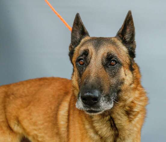 Waffle (A569190) is a 7-year-old, male, Belgian Malinois mix available for adoption from Harris County Pets. Bailey was brought into the shelter as a stray. He is well-mannered and sweet. He would love to find a loving forever home. Photo: Karen Warren, Staff Photographer / @2021 Houston Chronicle