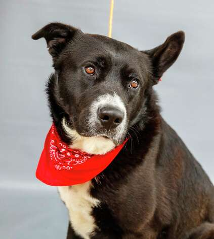 Oso (A568659) is a 1 1/2-year-old, male, Border Collie mix available for adoption from Harris County Pets. Oso loves men, women and children, and gets along with other dogs. He travels well, and might need a little help with obedience, but is a very well-mannered dog that loves attention and treats. Photo: Karen Warren, Staff Photographer / @2021 Houston Chronicle