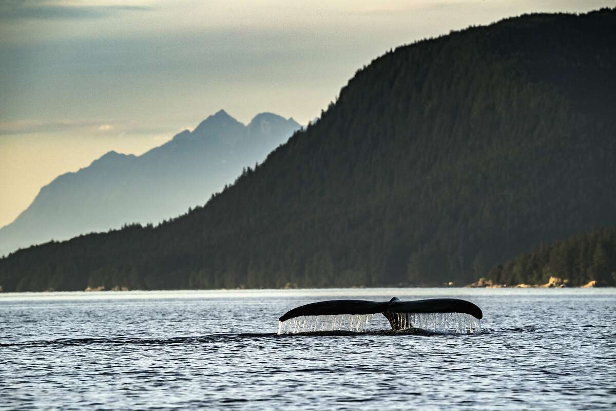 Water flows off the tail of a humpback whale as it dives below the surface near Juneau, Alaska. The mammals have gained extra protection along the West Coast.