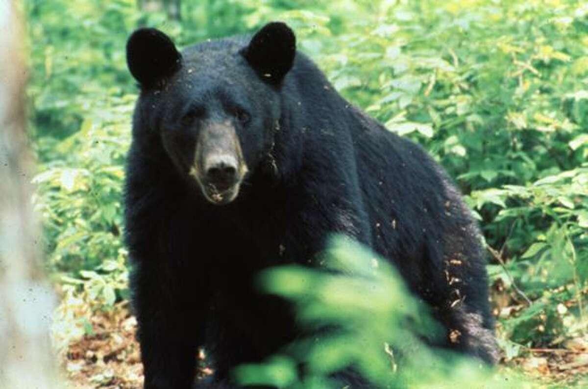 Black Bears of East Texas. Photos provided by the East Texas Black Bear Task Force.