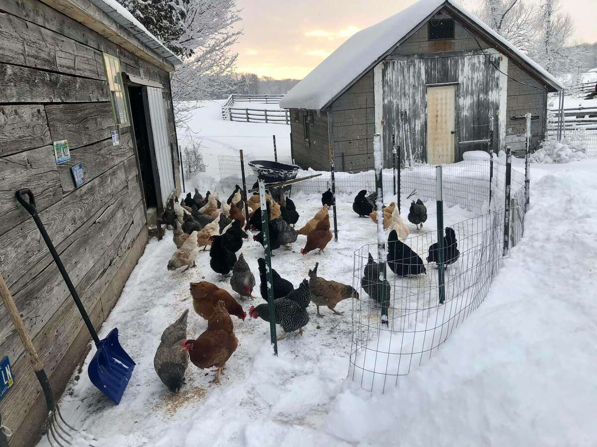 Aside from cattle, the Lindgren Family Farm also raises chickens for the eggs. (Courtesy Photo)