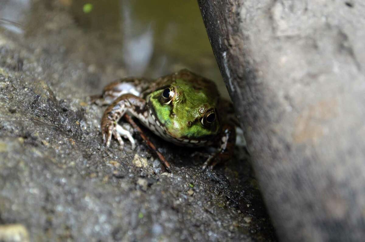 One of the frogs in the pond off the Swamp Loop Trail at Earthplace.