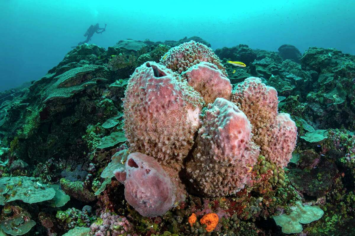 Coral grows in the Flower Garden Banks National Marine Sanctuary, where Jesse Cancelmo has been diving for decades.
