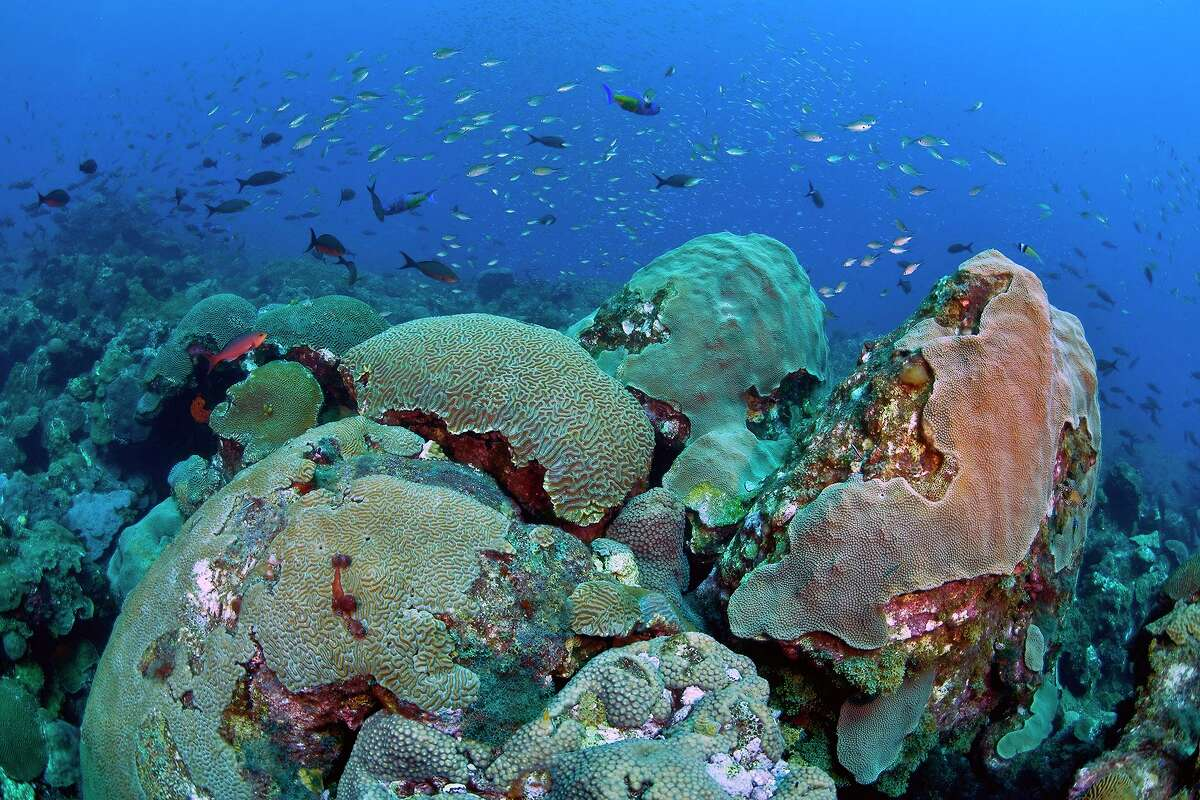 The Flower Garden Banks National Marine Sanctuary is home to a variety of corals, as well as other animals.