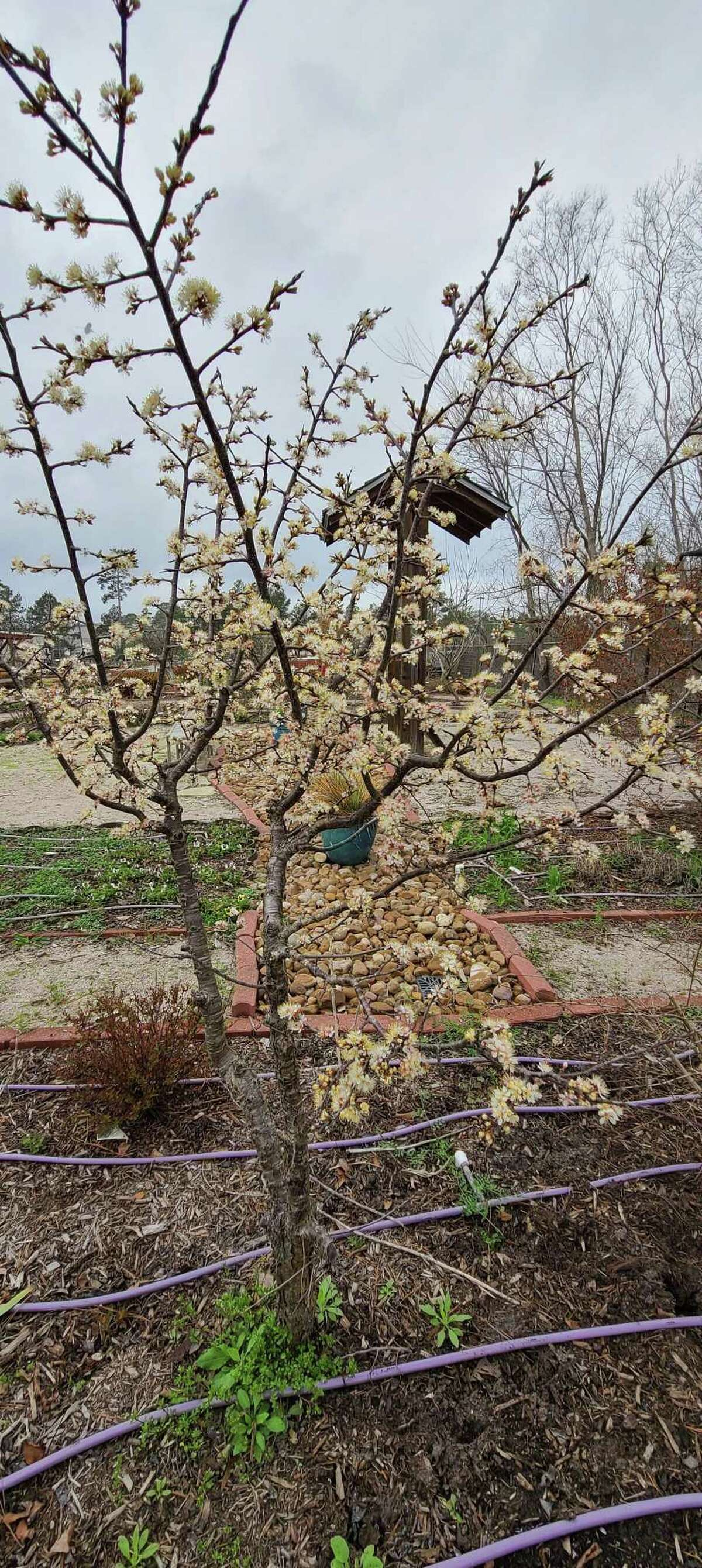 Blooms on a Mexican Plum plant signal the coming of spring.