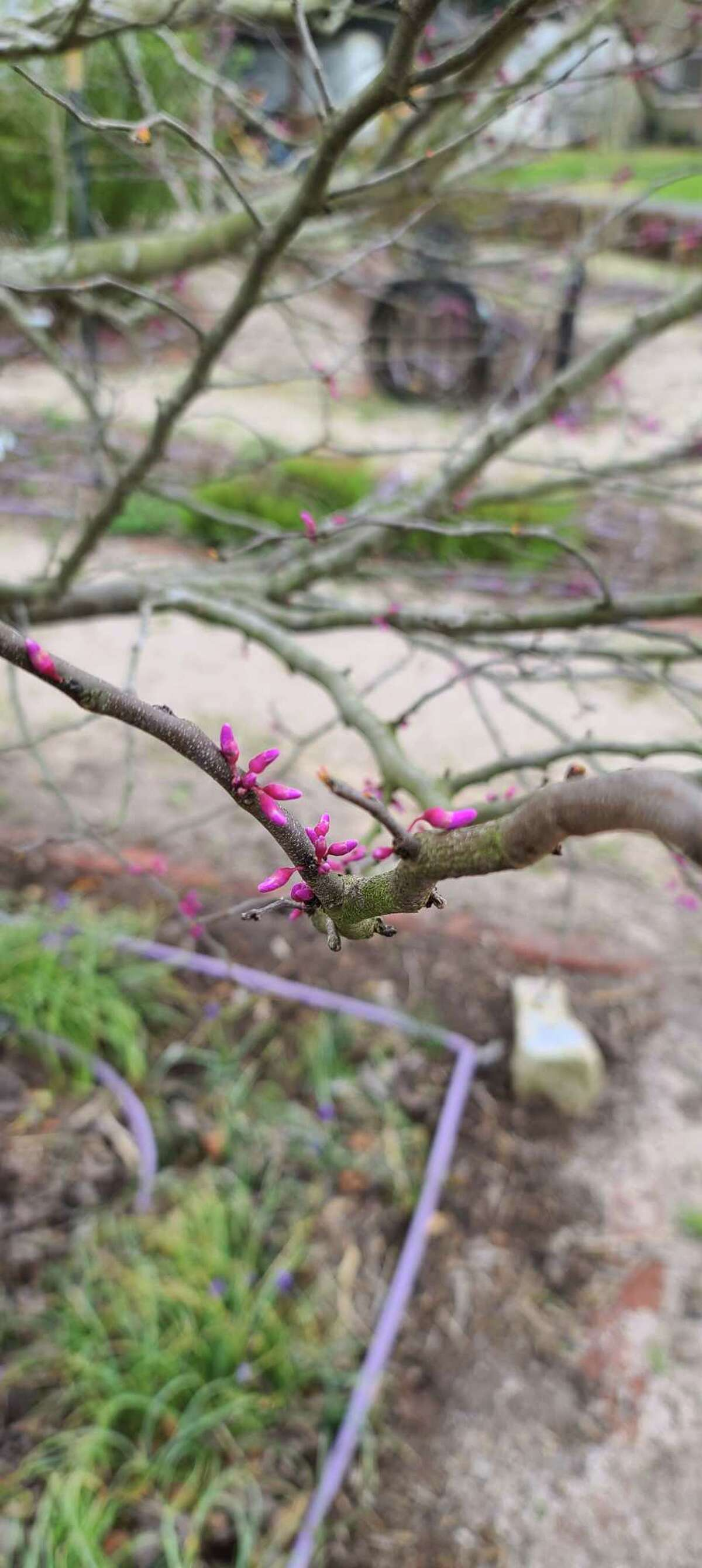 Blooms on a redbud plant signal the coming of spring.