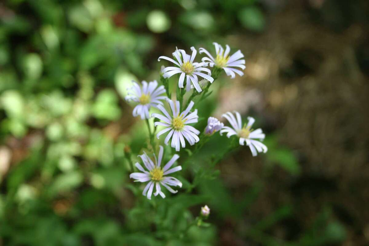 Symphyotrichum leave, smooth blue aster, was unprotected in author's garden and came through the freeze beautifully. Plant more native plants.