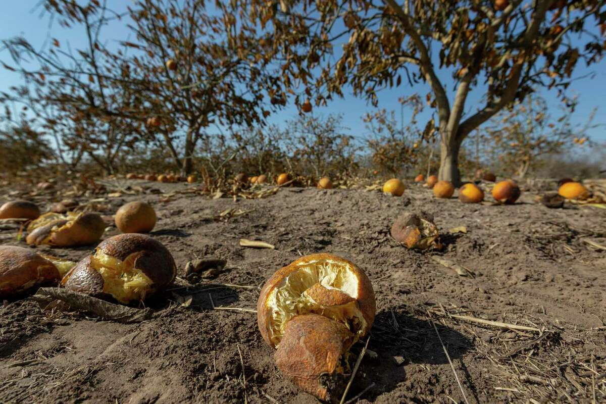Freeze-damaged citrus fruit lies on the ground Wednesday, Feb. 24, 2021, near Lasara in Willacy County. An estimated $300 million in citrus fruit has been destroyed due to last week's state-wide, multi-day deep freeze. Final damage totals will come once farmers can determine how much damage their trees received and how many can be saved.