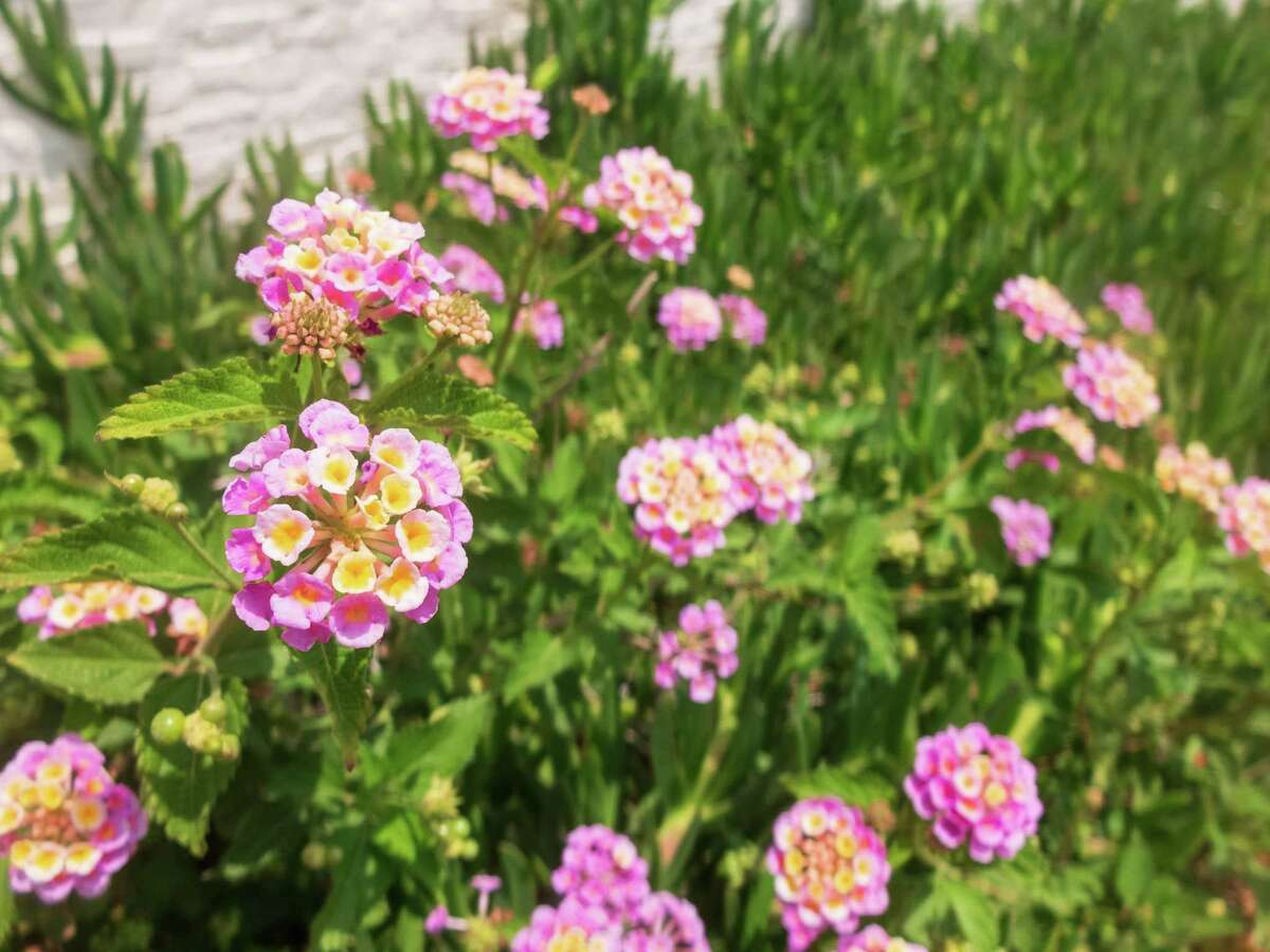 Lantana likely survived the freeze.