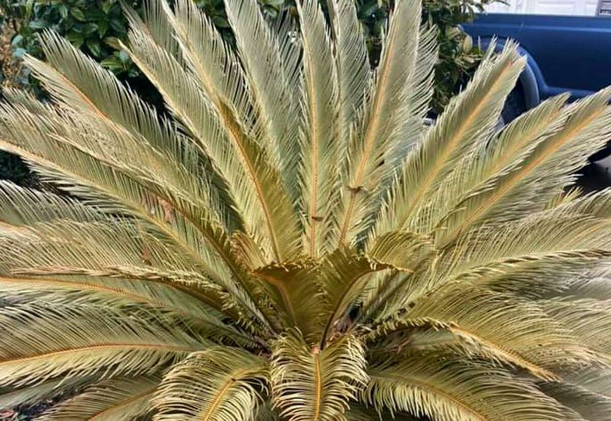 What to do with freeze-damages sago palms? Wait another four weeks before deciding to replace them. There's a still a chance.