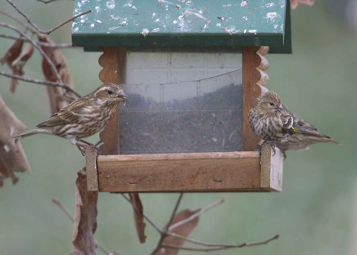 A female purple finch and pine sisken share a feeder. Clean feeders and take them down to prevent spreading disease.