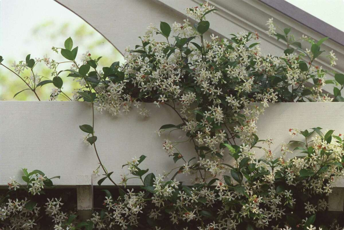 The perennial star jasmine is an evergreen that sweetens spring with white blooms.