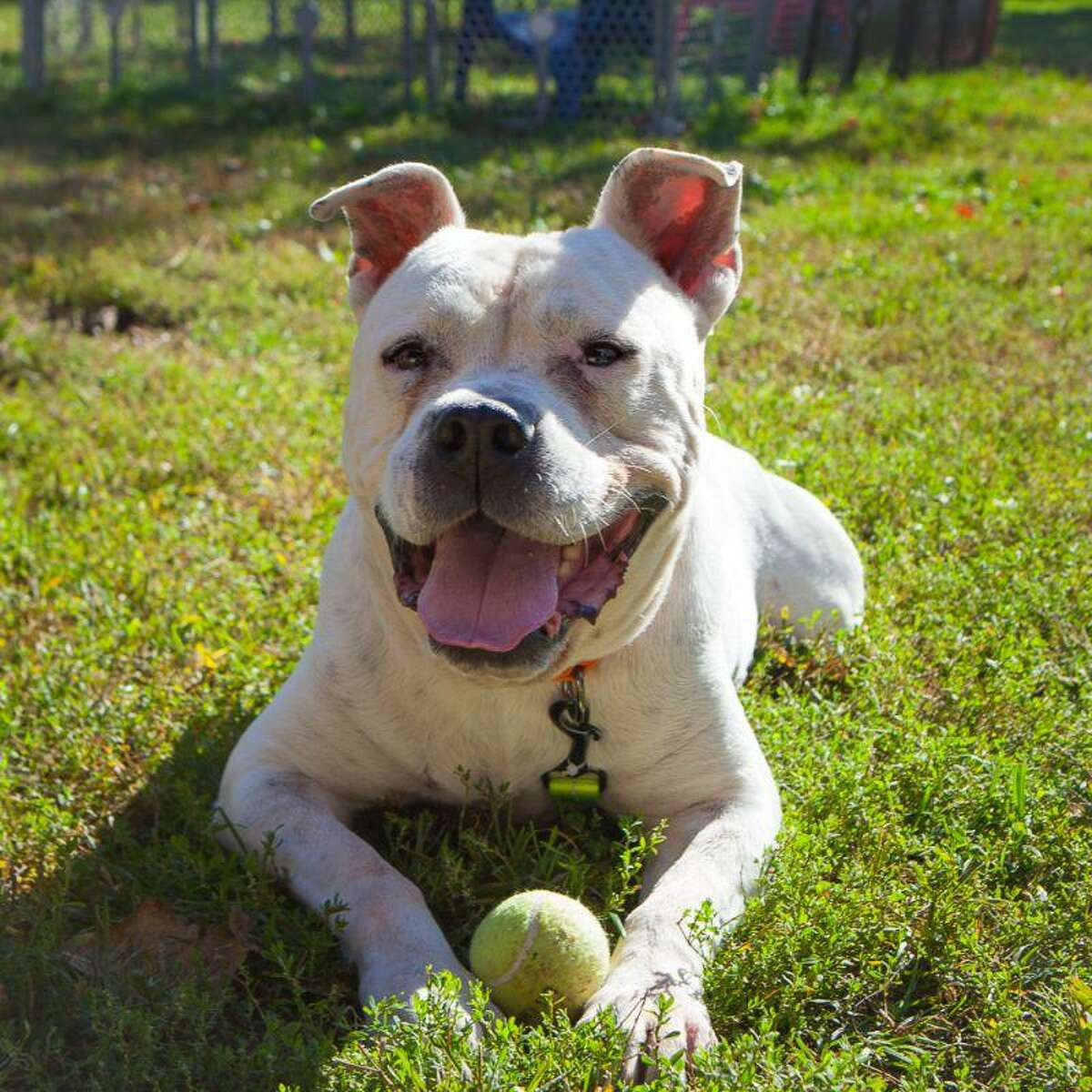 Jericho, a dog, needs a Hail Mary, and a foster. He is available to meet by calling the ROAR Donofrio Family Animal Shelter, 45 South St. in Ridgefield, at 203-438-0158, for an appointment.