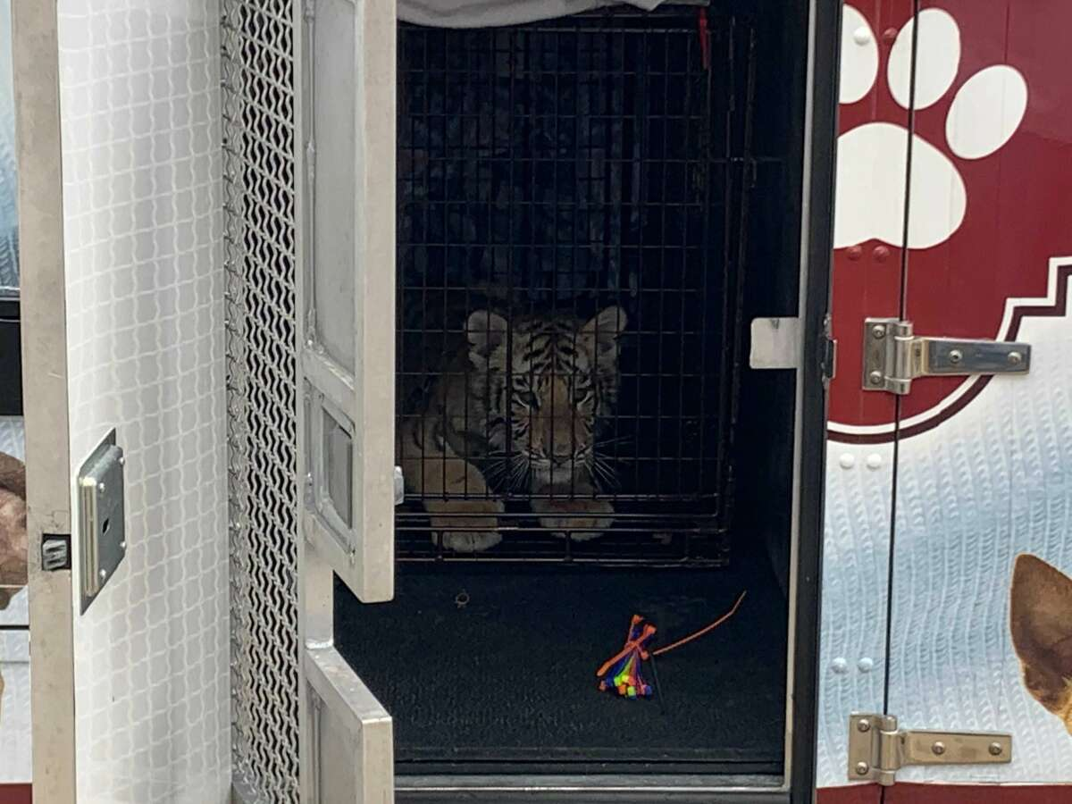 Authorities seized a tiger and a bobcat Tuesday from a Southeast Bexar County home.