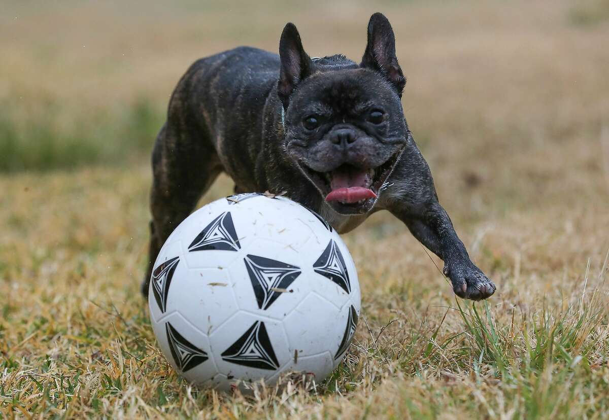 Gio, a 3-year-old French Bulldog, plays with a soccer ball kicked around by his owner, Alton Isgitt in Houston on Thursday, Jan. 21, 2021. Isgitt says he takes out Gio twice a day to the empty lot to wear him out.