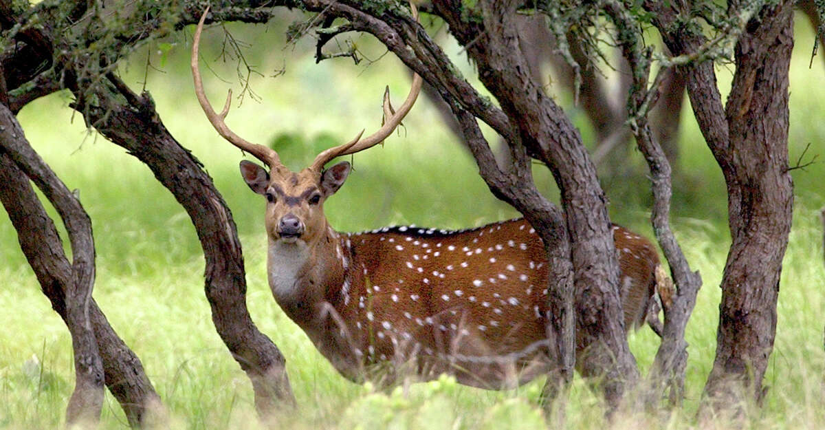 Axis deer, a subtropical species from India, are not adapted to the type of cold weather Texas experienced in mid-February.