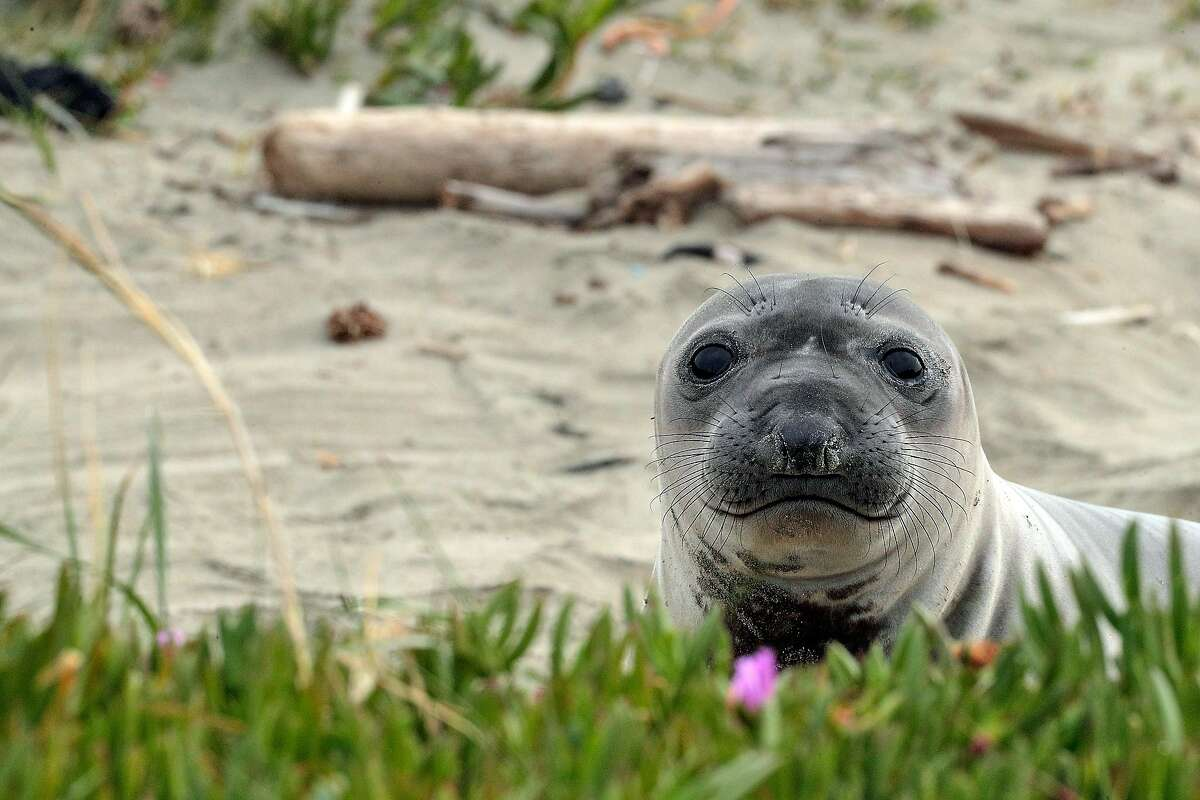 A juvenile seal keeps watch at Drake's Beach in Point Reyes National Seashore. New research looks at the seals' migration halfway to Japan.
