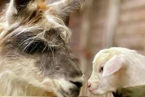 Science suggests watching animal videos or looking at cute animal photos can help reduce stress and anxiety—and in a pandemic year, we'll take all the help we can get. Clover Brooke Farm in Dutchess County is one of several Hudson Valley Instagram accounts where animal lovers can get a visual fix.