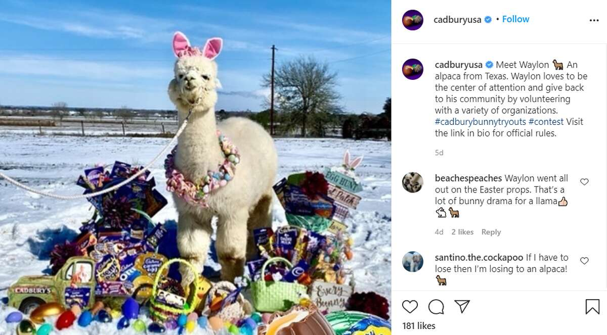 Waylon the alpaca is one of two Texas animals doing their best bunny impressions, hoping to be the newest mascot for the popular Easter candy Cadbury Egg.
