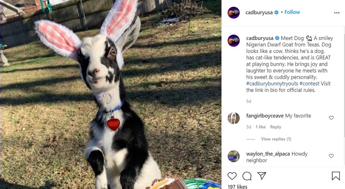 Dog the goat is one of two Texas animals doing their best bunny impressions, hoping to be the newest mascot for the popular Easter candy Cadbury Egg.