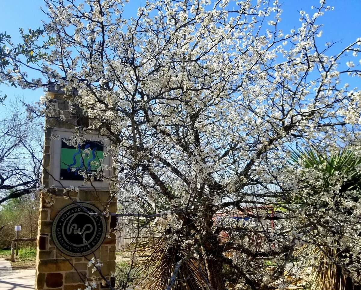 MEXICAN PLUM TREES