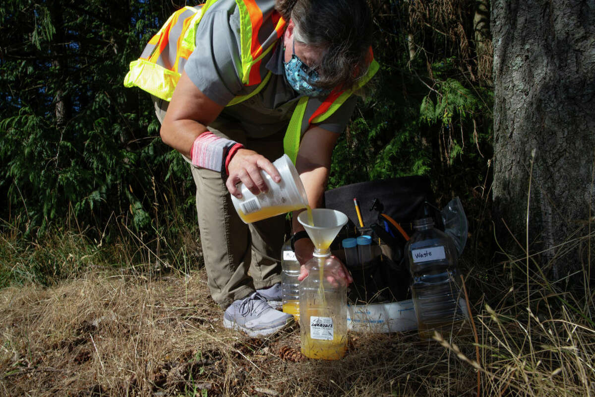 BELLINGHAM, WA - JULY 29: Jenni Cena, pest biologist and trapping supervisor from the Washington State Department of Agriculture (WSDA), adds a mixture of orange juice and rice cooking wine into a bottle designed to catch Asian Giant Hornets, also known as murder hornets, on July 29, 2020 in Bellingham, Washington. Asian giant hornets attack and destroy honeybee hives. Once established, its feared the Asian Giant Hornet could have negative impacts on the environment, economy, and public health of Washington State. WSDA currently has 442 traps throughout the state. To date, five Asian Giant Hornets have been found in Washington state, all by public citizens in Whatcom County. (Photo by Karen Ducey/Getty Images)