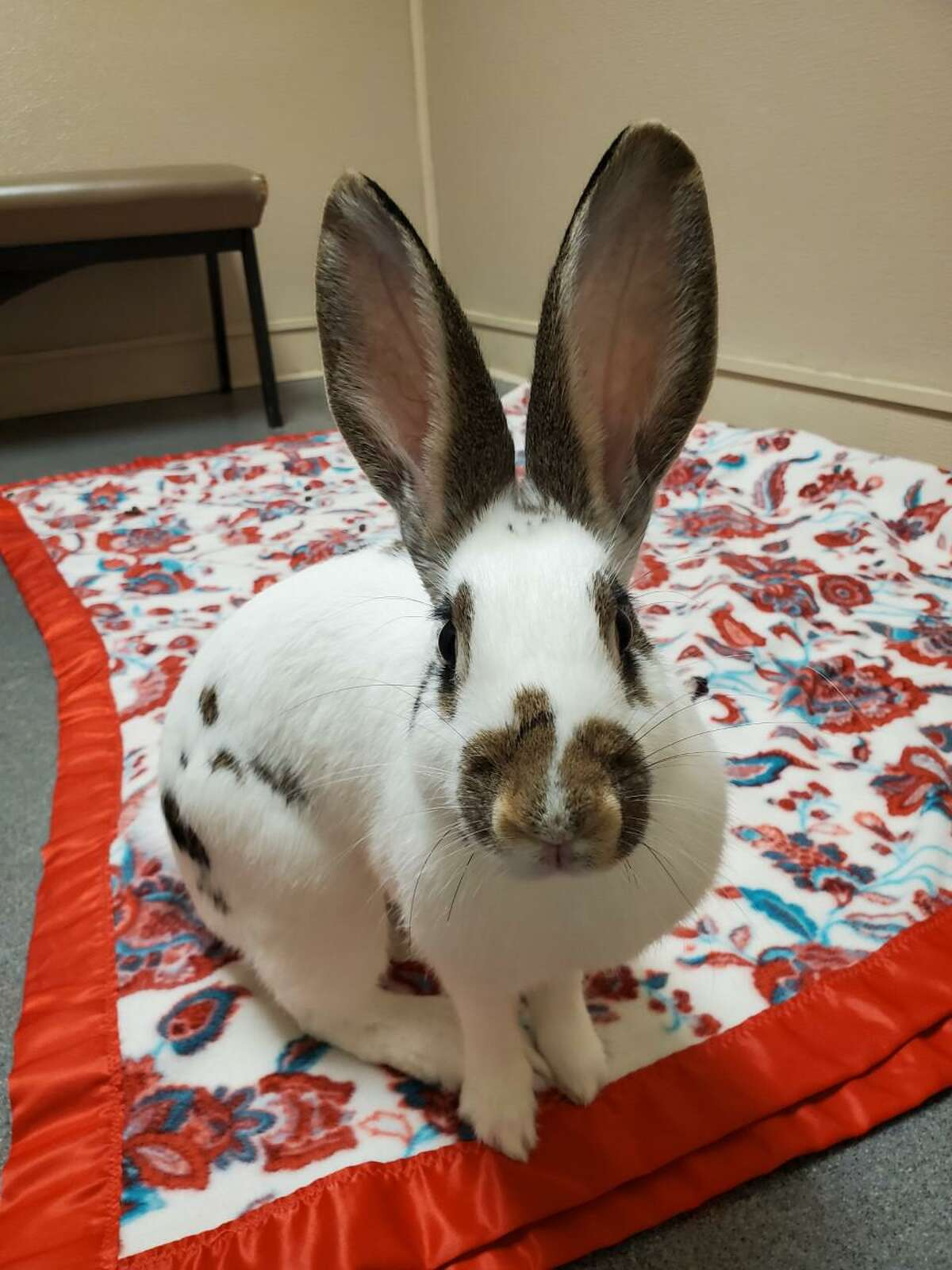 If you think small animals can't have big personalities, Spots is one of those pets. This 7-month-old bunny is quite the entertainer. She loves to climb into your lap, and even climb to your shoulder. She can jump gates. Spots was found outdoors and thankfully brought to the Connecticut Humane Society, since pet rabbits can't survive on their own outside the way wild rabbits can. She's now ready for a home. This bunny will need lots of rabbit toys that are appropriate for her to chew and of course a good diet of Timothy hay, dark leafy greens, pellets and her favorite foods, like cilantro and green pepper. She's spent time in a volunteer foster home, so she is used to a home environment. Think you've got room in your home and heart for Spots (and her big ears)? Visit CThumane.org/adopt to learn more. An online application can be found in each pet's profile.