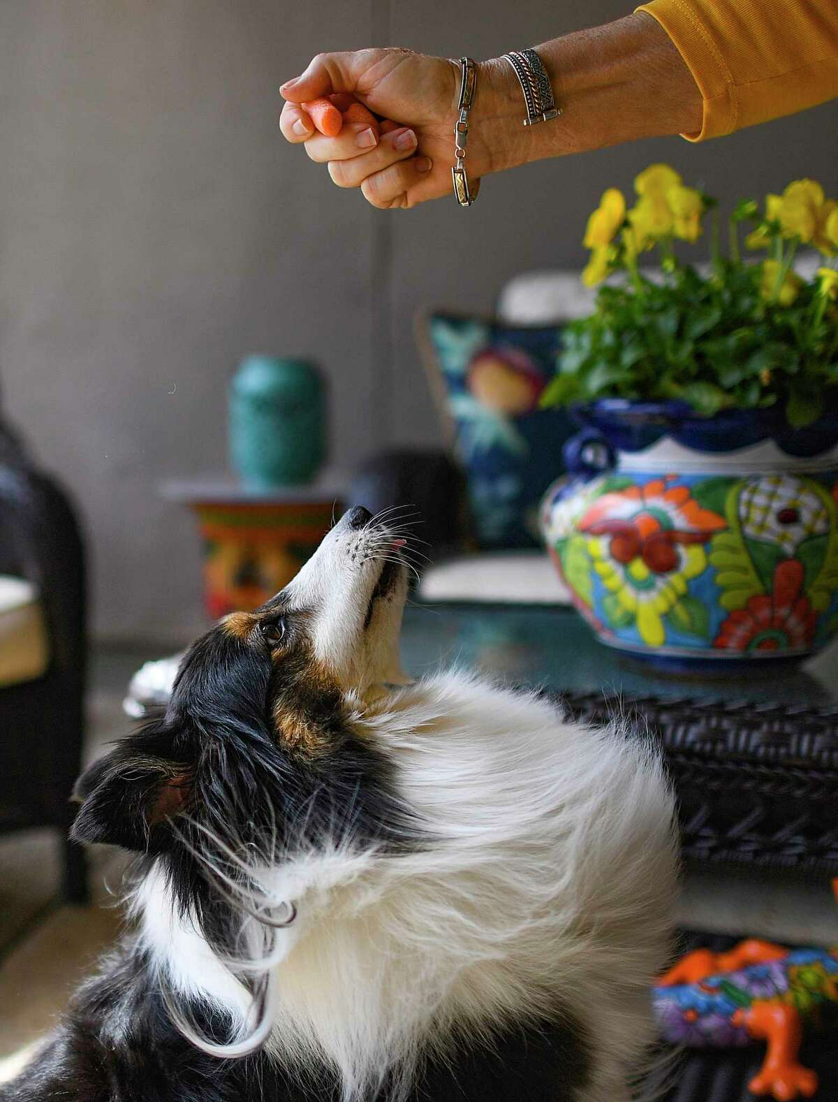 Lexi, a Sheltie belonging to Steve and Candi Robinson, looks for a treat. Like a lot of dogs during the pandemic, Lexi developed the bad habit of barking too much.