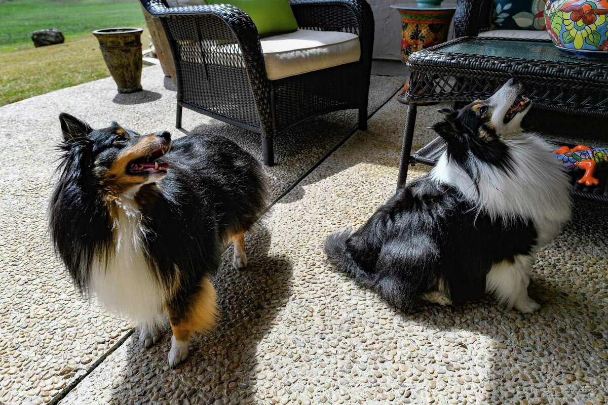 """Shetland sheepdogs Sochi, left, and Lexi were broken of their habit of barking too much when their owners, Candi and Steve Robinson began sharply saying """"shush,"""" when they started barking."""