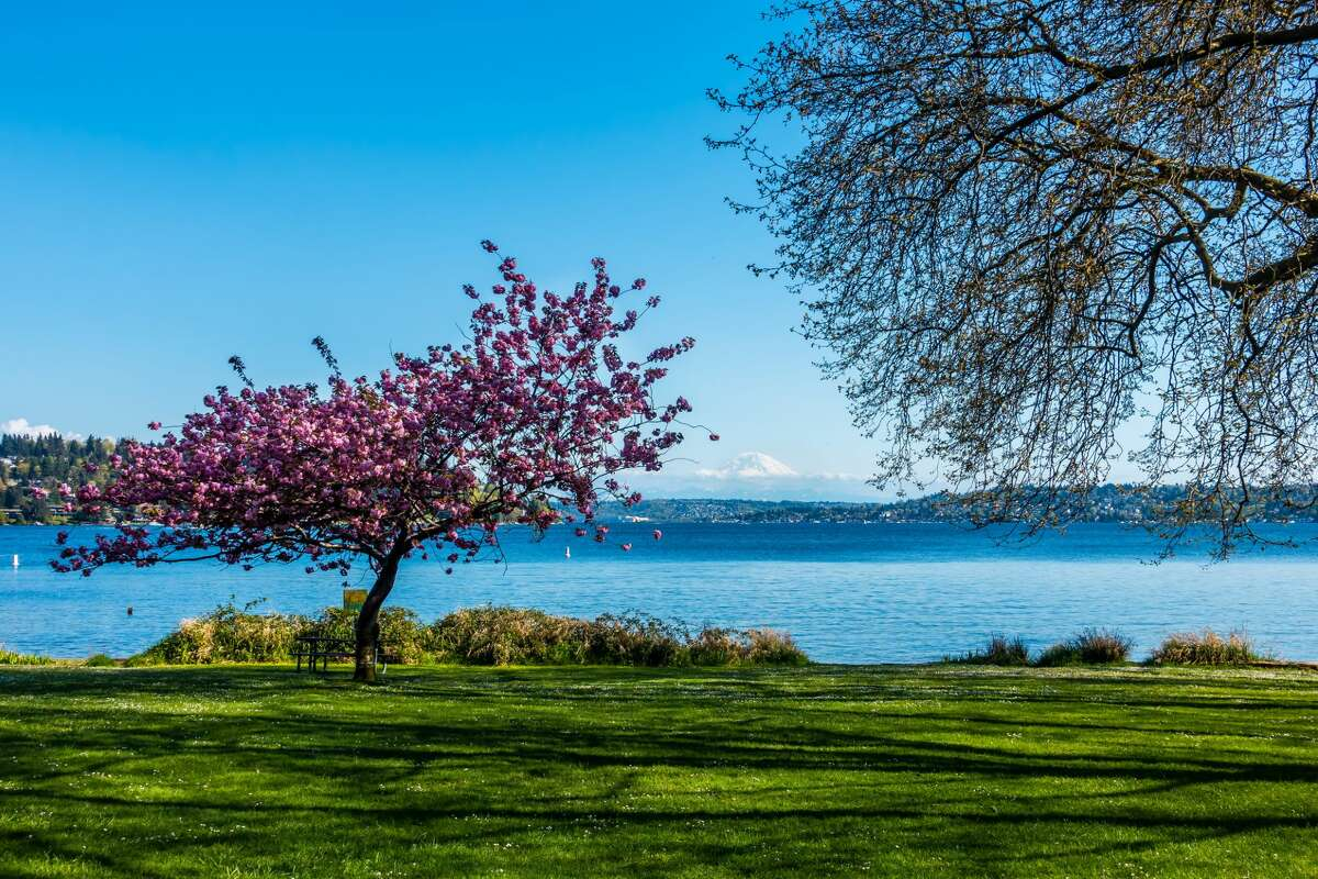 While the University of Washington is advising residents to view their famous cherry blossoms virtually this year to avoid crowding campus, there are plenty of other spectacular spots to view the blooms, including Seward Park. With a view of Lake Washington and Mt. Rainier, the 300-acre park makes for an excellent picnic date or leisurely stroll.