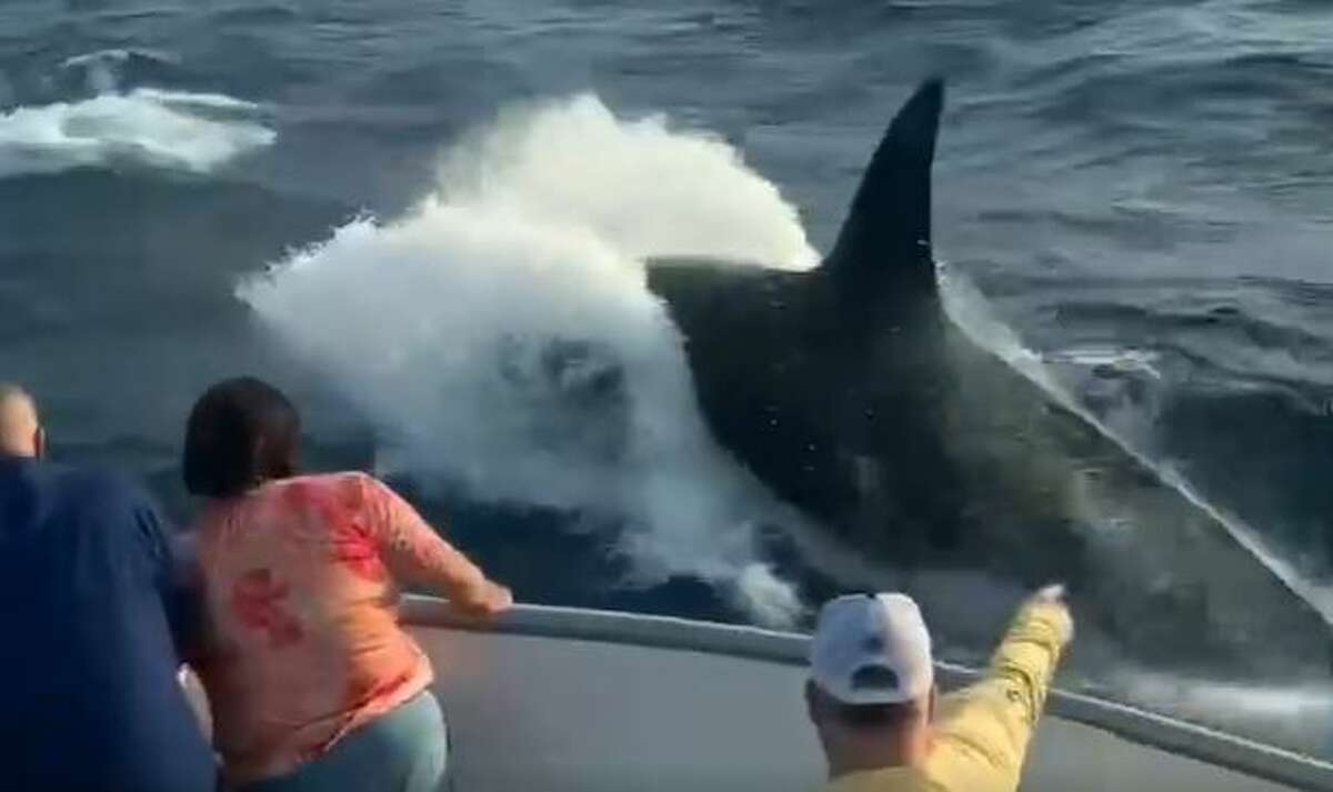 A pod of rare killer whales swam alongside a fishing boat out in Galveston on Wednesday, according to boating company Galveston Party Boats, Inc.