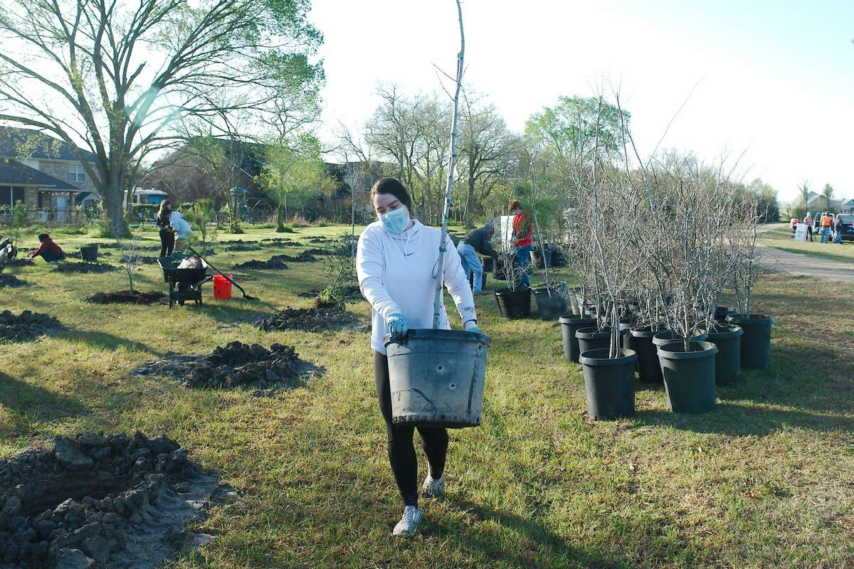 Mia Cantu carries a tree to be planted as volunteers plant native tree species including oak, maple, pine and cedar along the walking trail at the John Hargrove Environmental Complex Saturday, during Keep Pearland Beautiful Plant a Tree Day.