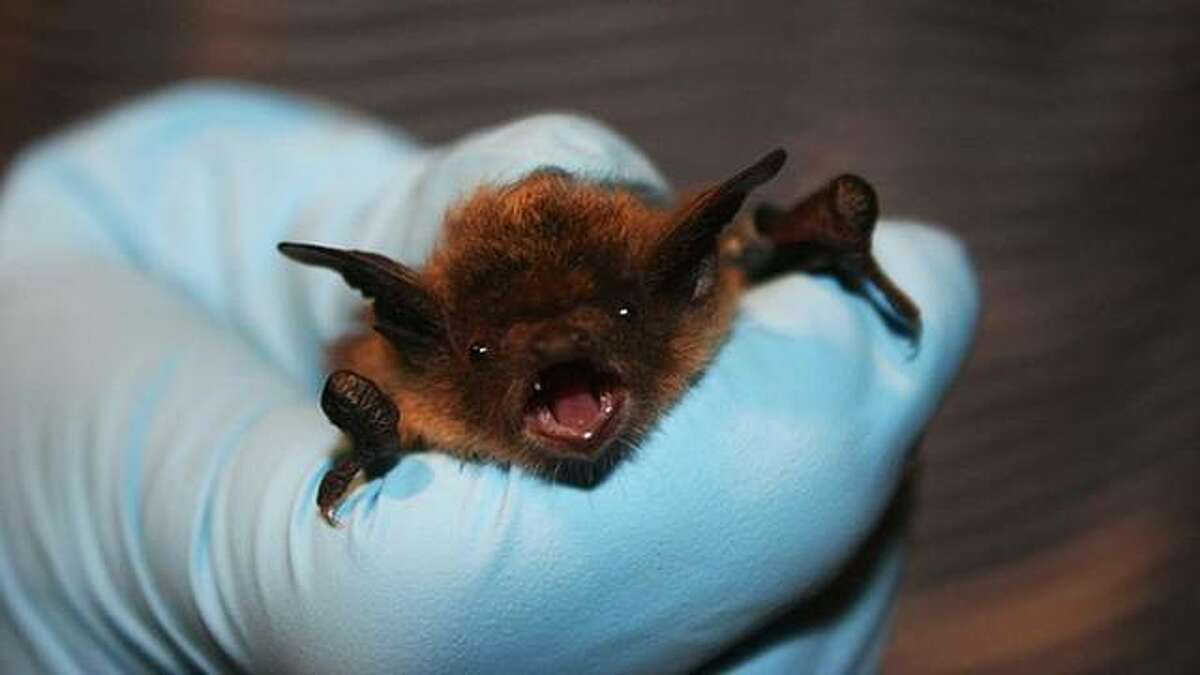 The first bat testing positive for rabies this year had been reported in DuPage County, according to the Illinois Department of Public Health. August and September are typically when the greatest number of bats are submitted for rabies testing.