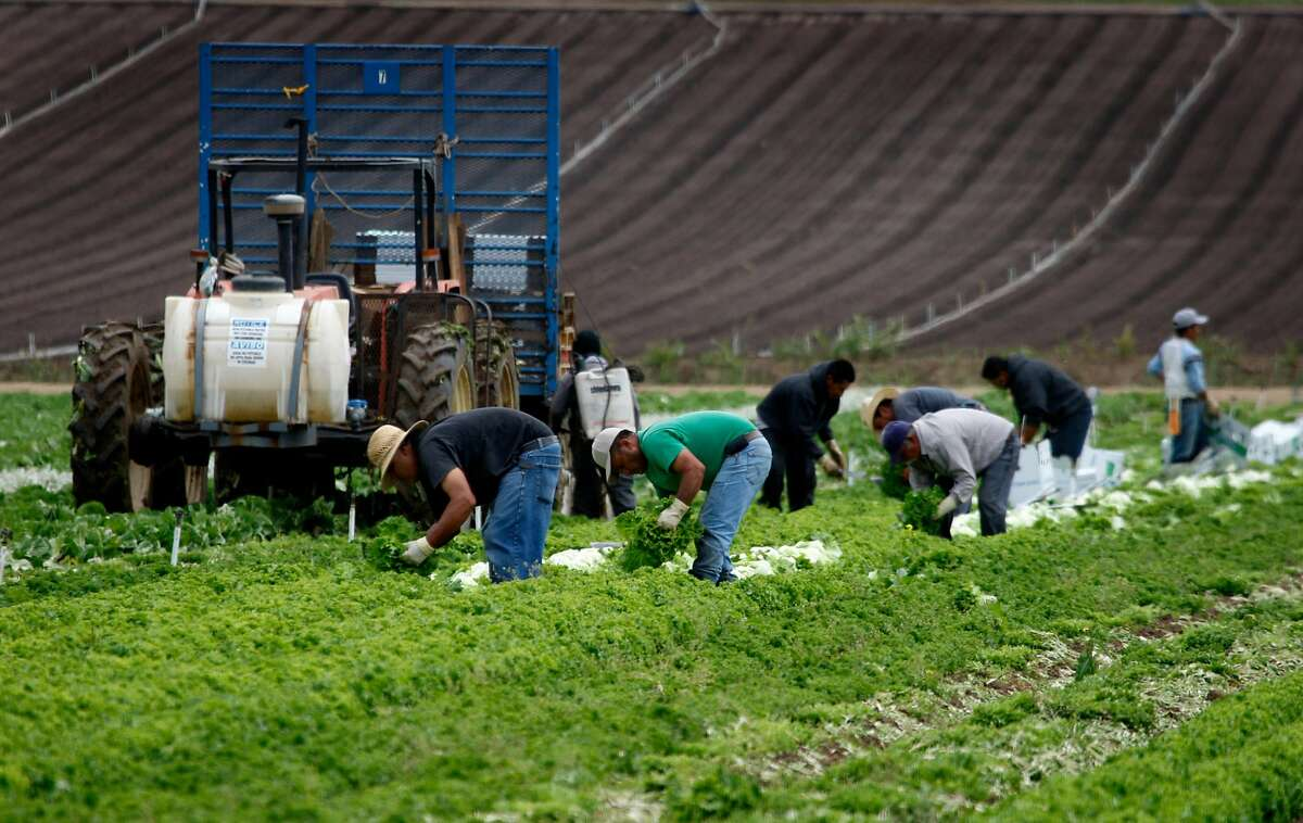 Farmworkers harvest organically-grown lettuce at Lakeside Organic Gardens Farm in Watsonville, Calif., on Wednesday, July 1, 2009.
