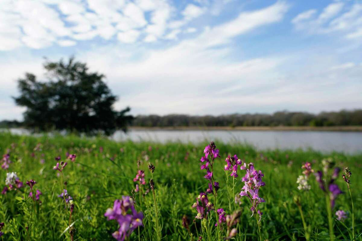 Wildflowers are shown along Cypress Lake in Bridgeland Thursday, Jan. 28, 2021 in Cypress. The master-planned community has invested millions in a series of lakes to hold storm water.