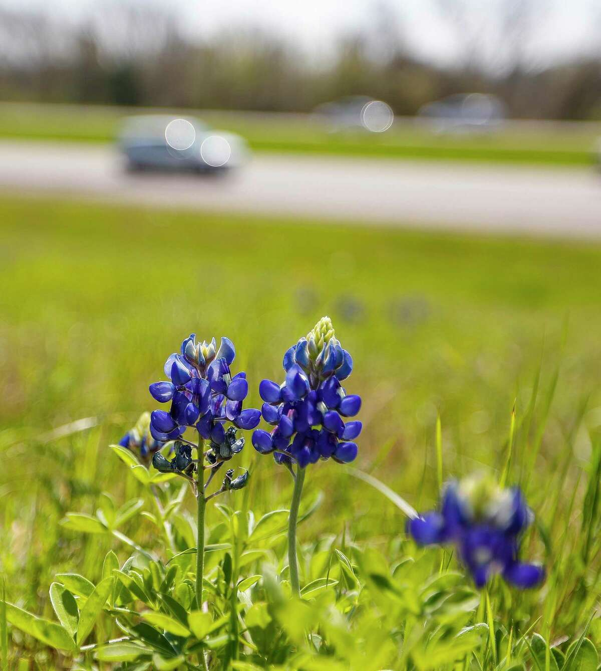 Bluebonnets and other wildflowers are just starting to emerge near Chappell Hill, outside of Brenham on Highway 290. Wildflowers will be a little late this year, but the freeze may have helped them because the blanket of snow would have insulated them from the cold and provided water they needed.