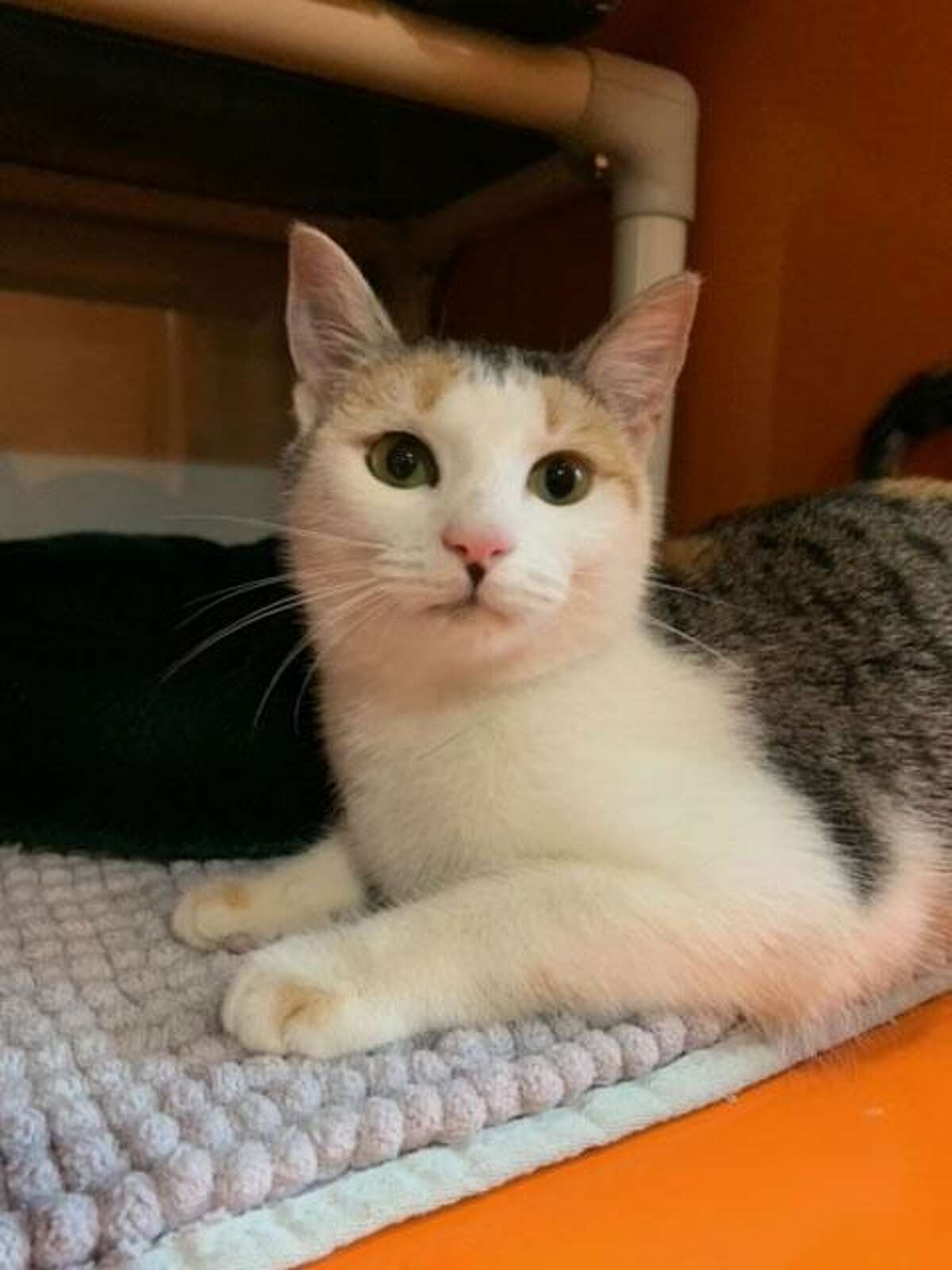Milky Way will make a great lap cat. She is available to meet by calling the ROAR Donofrio Family Animal Shelter, 45 South St. in Ridgefield, at (203) 438-0158 for an appointment.
